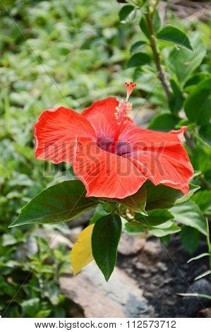 red Hibiscus rosa-sinensis flower