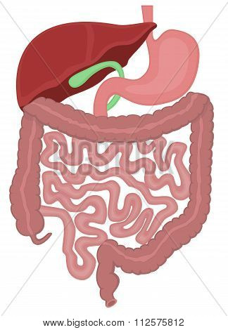 The Digestive Tract Of A Human