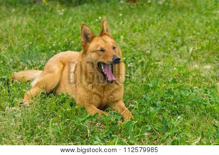 Mixed breed dog yawns lying in the spring grass