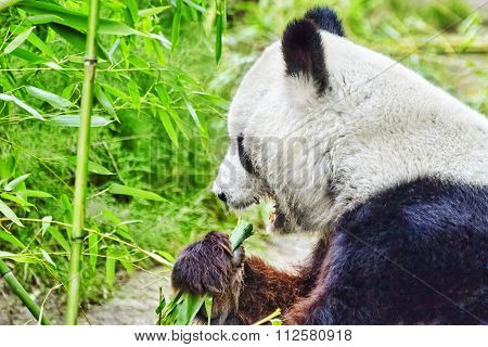 Cute Bear Panda Actively Chew A Green Bamboo Sprout.