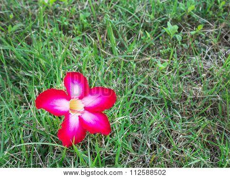 Impala Lily, Desert Rose, Mock Azalea, Pinkbignonia, Adenium On Green Grass
