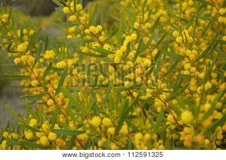 Yellow Costal Wattle