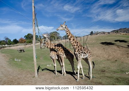 Family Of Giraffes Feeding From A Pole In Safari Park