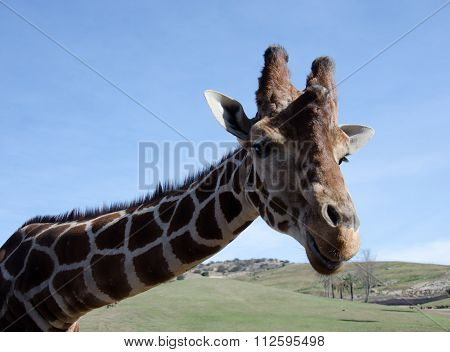 Portrait Of A Curious Giraffe Wondering Around Caravan In A Safari Park