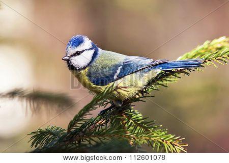 blue tit on spruce branch