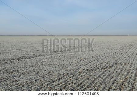 Field of winter wheat. Hoarfrost on foliage of sprouts of wheat.