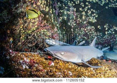 White tip reef shark