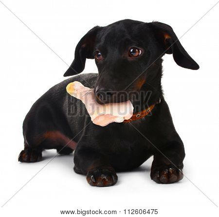 Dog holding raw chicken in its mouth,  isolated on white