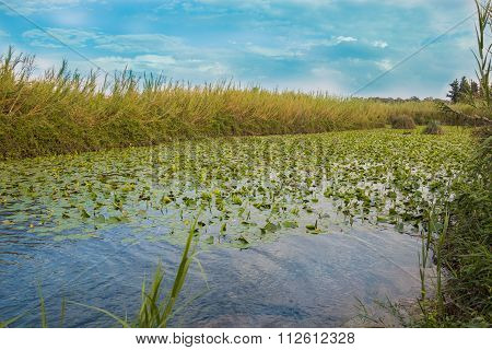 Water Lily Pool of Yarkon National Park - pond full of yellow water lilies (Nuphar lutea)