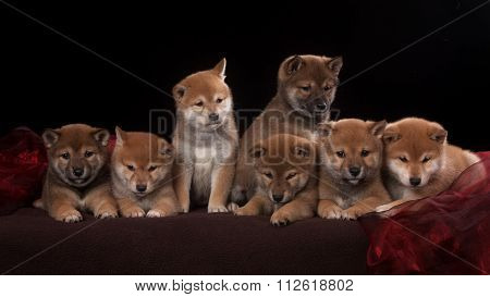 Pack of seven shiba inu puppies and looking in camera