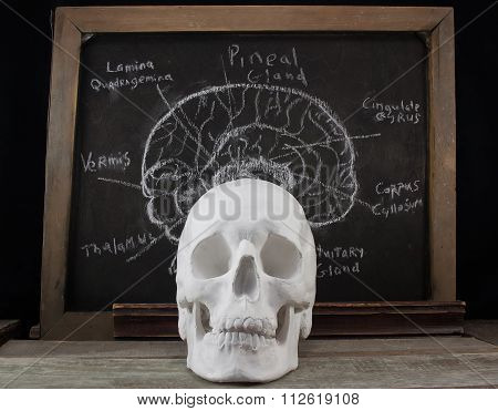 Old anatomy board and skull.