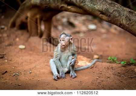 Baby Bonnet Macaque, part of the Banyan Tree Troop Bangalore India.