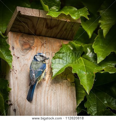 Blue tit (Cyanistes caeruleus) by a nesting box
