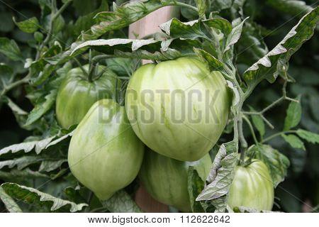 Green Cuore di Bue Tomatoes