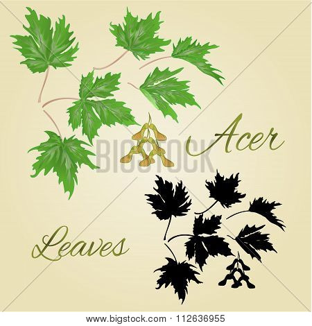 Acer-maple Leaves Vector
