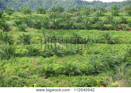Palm oil trees in palm oil plantation estate