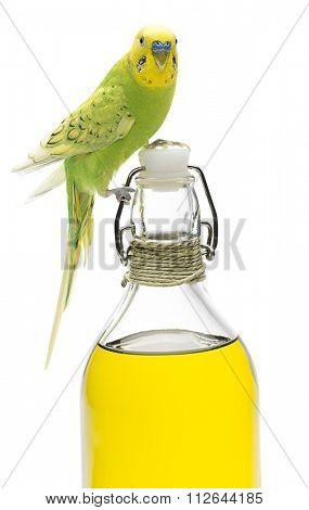 Closeup portrait of a budgerigar on olive oil bottle isolated on white background.