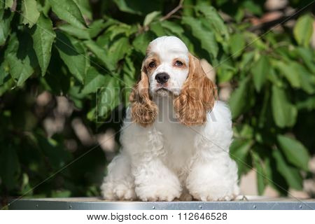 american cocker spaniel dog outdoors in sumemer