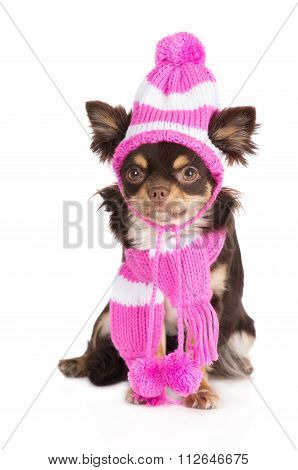 chihuahua dog in a hat and scarf
