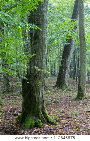 Monumental Hornbeam Tree Of Bialowieza Forest