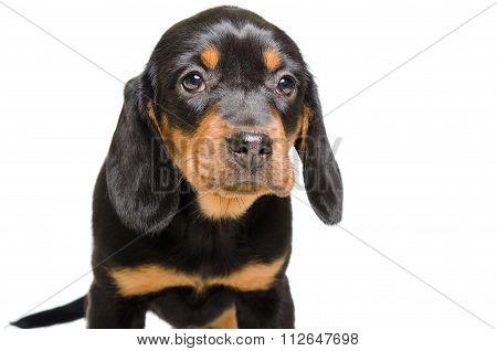 Portrait of puppy breed Slovakian Hound