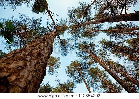Pine Tops