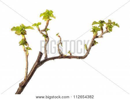Spring Leaves On Blackcurrant Twig
