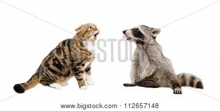 Meowing cat Scottish Fold and raccoon showing tongue together