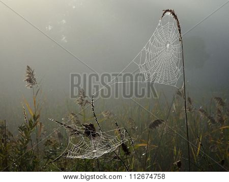 Webs in Morning Dew