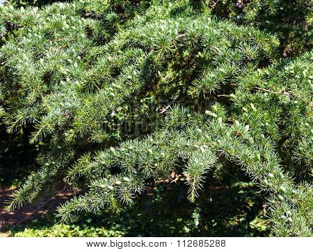 Growing Fir