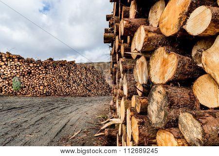 Harvested Pine Logs