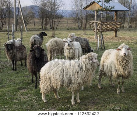 Small Flock Of Sheep In The Reserve