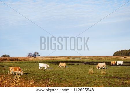 Marshland With Grazing Cattle