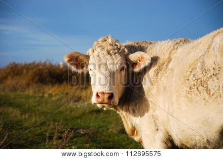 Close Up Of A White Cow