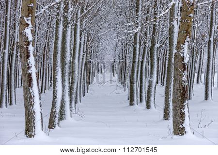 Snowy Path Through Trees.