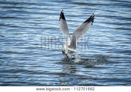 Seagull Flies Off With Fish.