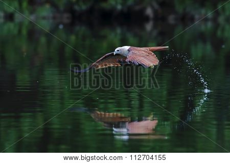 Brahminy Kite Red Backed Sea Eagle Haliastur Indus Flying