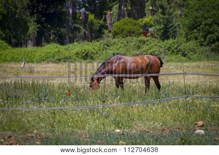 brown horse grazing in a green pasture, spanish horses