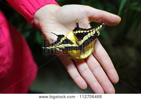 Woman holds in hand with lemon beautiful tropical butterfly.