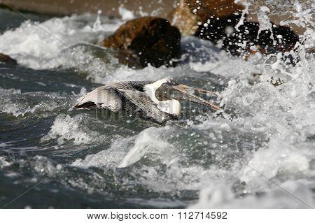 South America Venezuela Isla Margatita Pelican
