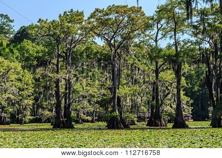 Cypress Trees And Lily Flowers At Caddo Lake,  Texas