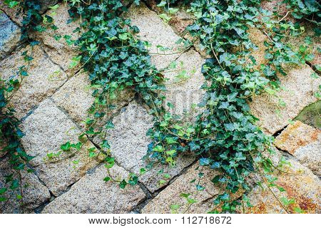 Rock Wall With Ivy Creeping Leave
