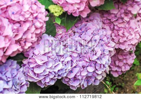 Colorful Of Hydrangea Flower