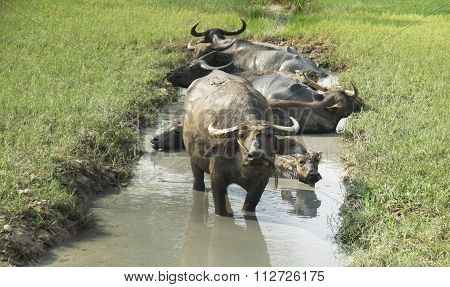 A Group Of Buffalo Are Bathing In A Swamp In Summer Thailand