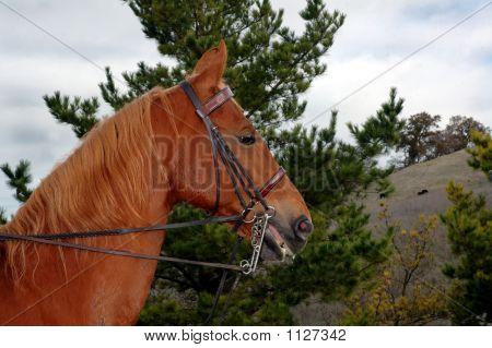 Saddlebred 3