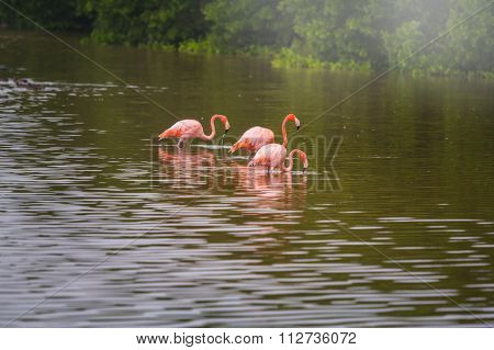 Mexican flamingos wade in lagoon