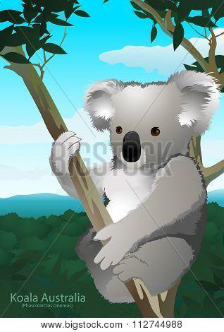 Koala Sitting In A Gum Tree In Australia