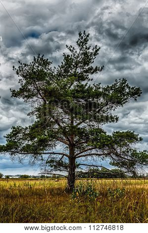 lonely pine tree in field on background of stormy sky