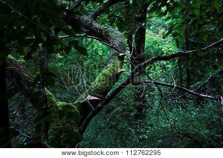 Phellinus Igniarius On The Tree