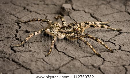 Assault Tarantula On Desert Surface